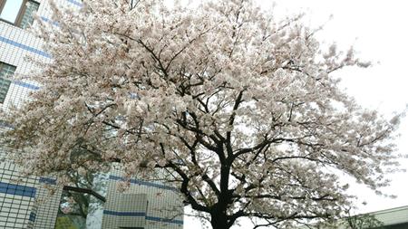正面桜(小)