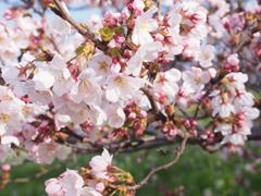 多摩川桜1