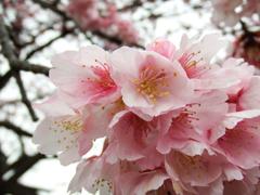 多摩川桜2